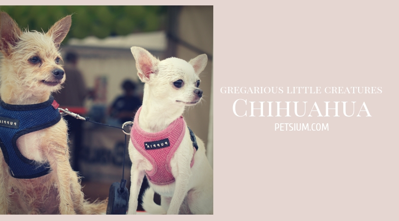 Chihuahua Small Dogs - Under 10 Pounds (5kg)