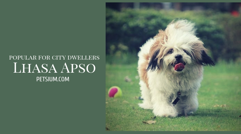 Lhasa Apso Apartment Dog