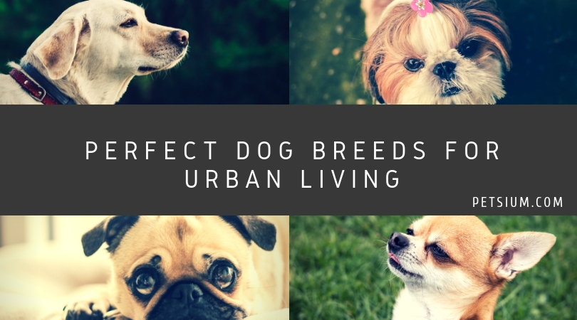 Perfect Dog Breeds for Urban Living