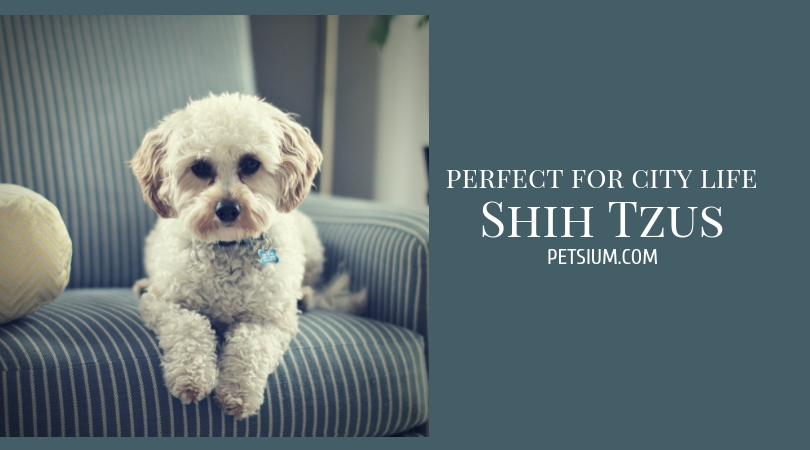 all about Shih Tzus