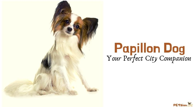 are they papillons good city dogs