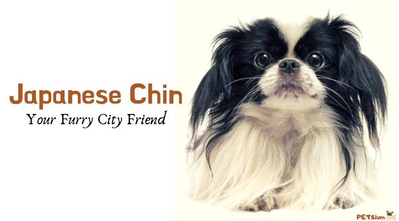 japanese chin dog breed info