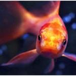goldfish for pet