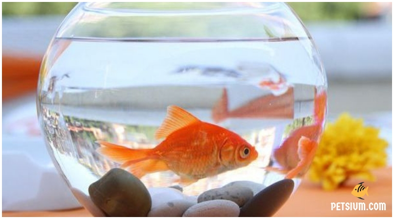 how to buy the goldfish