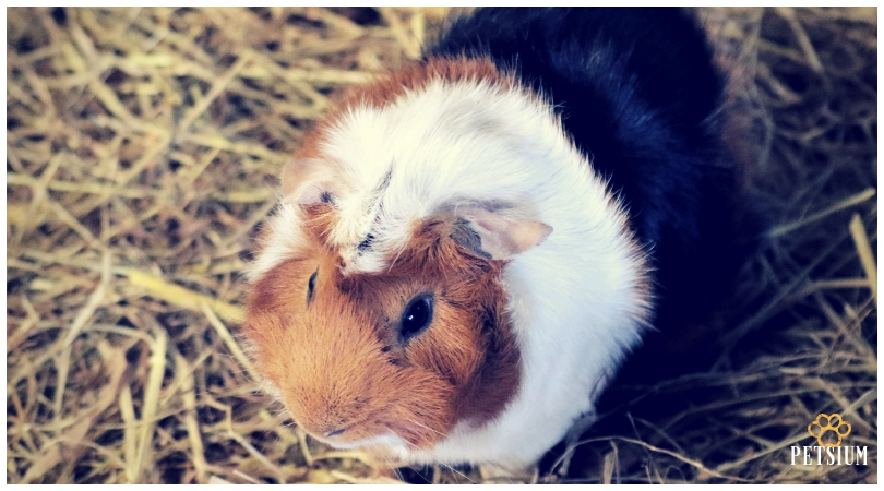 Guinea pigs pets for kids