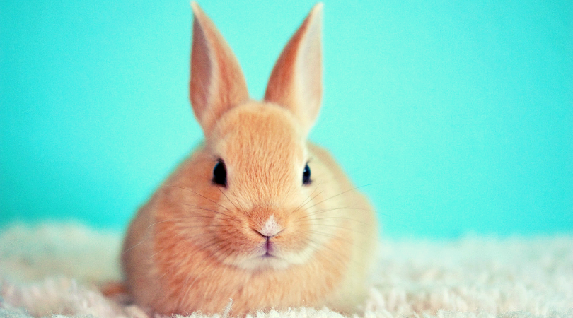 bunny for pet