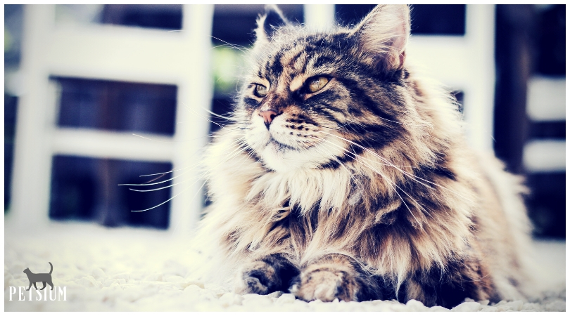caring for a persian cat