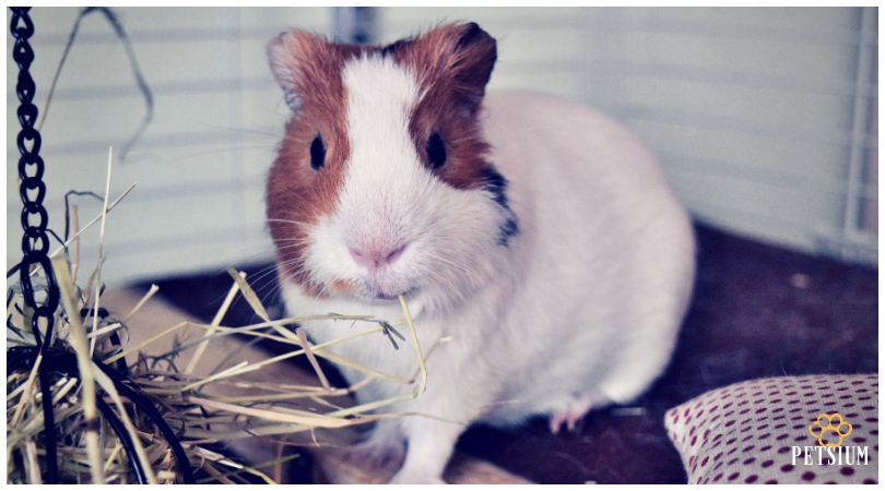 guinea pig for kids