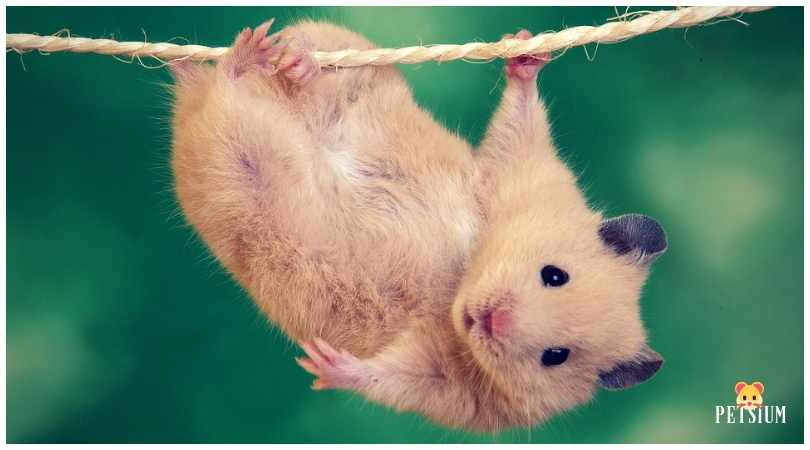 hamster exercise on wheel