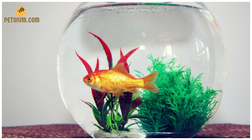 some general goldfish diseases