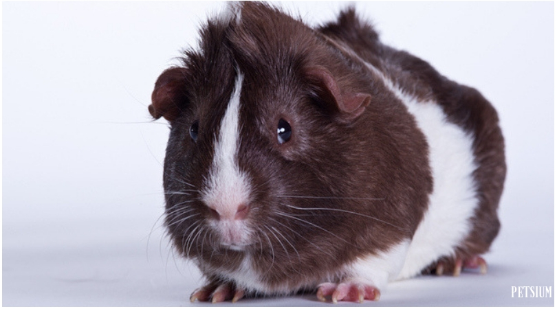 Abyssinian and Abyssinian Satin Guinea Pig