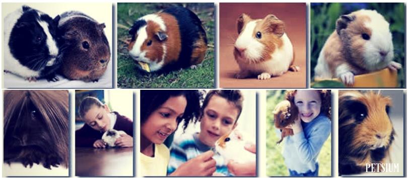 Amazing Pet Guinea Pig