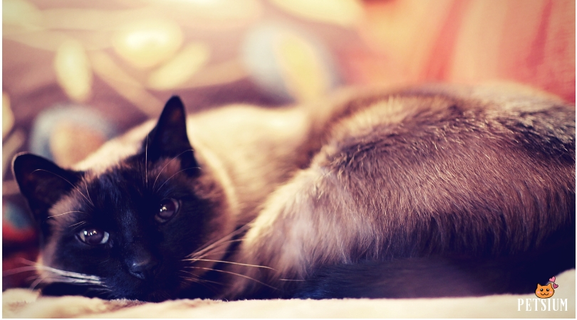 Siamese cat for pet
