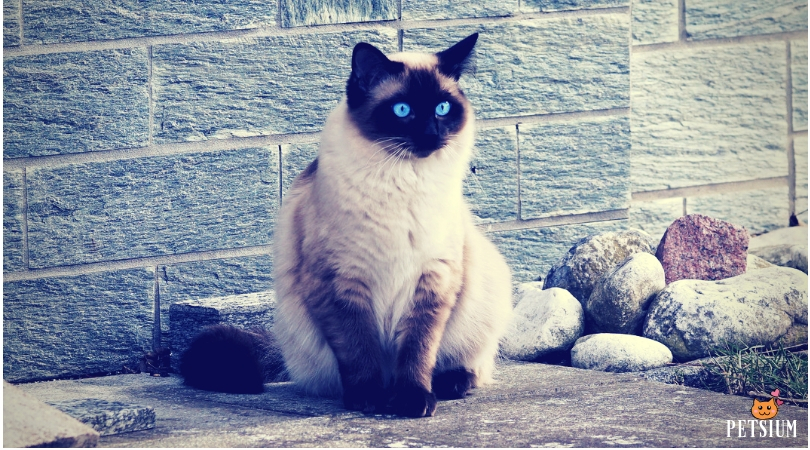 Siamese cat information