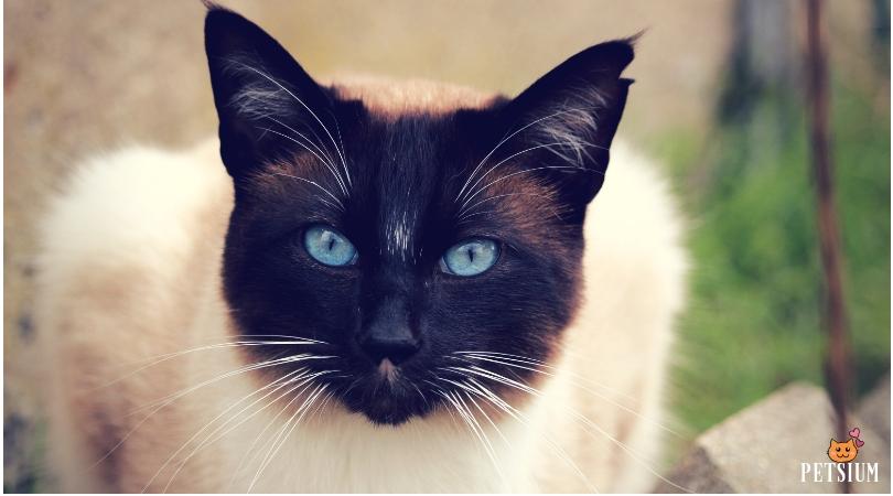Siamese cat types