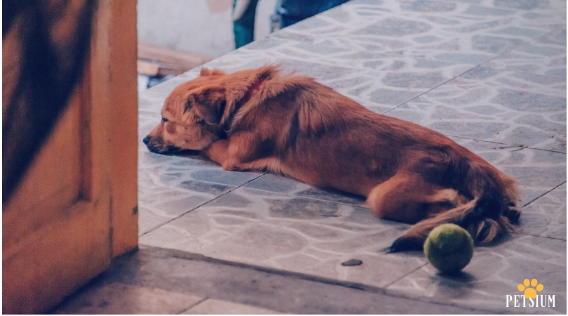Symptoms of Dog Arthritis
