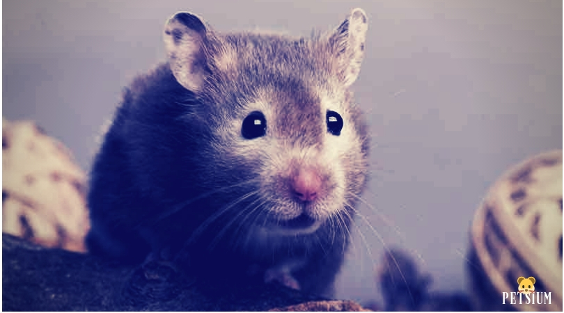 Syrian Hamsters most popular pets