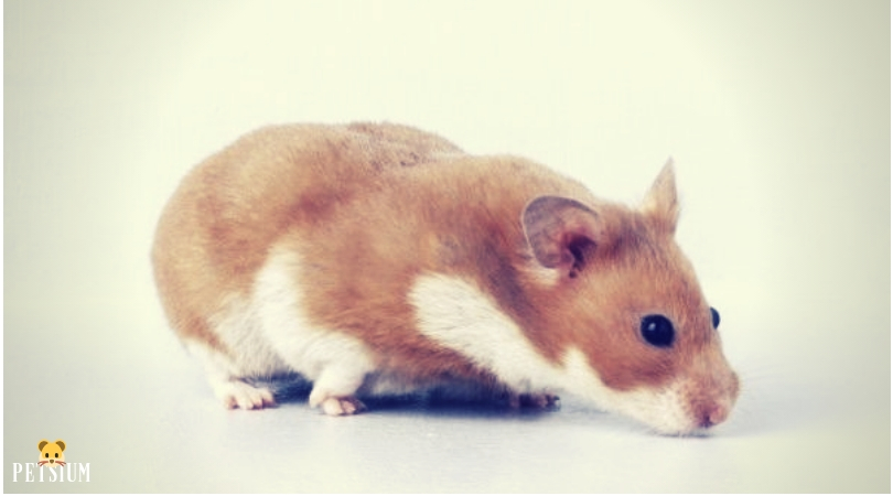 Syrian Hamsters with long haired coats