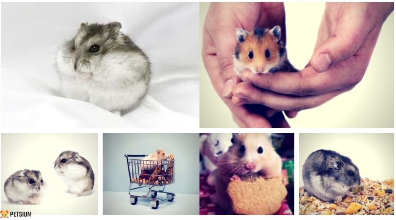 What Do Hamsters Eat? [Infographic] - Hamster Food Guide