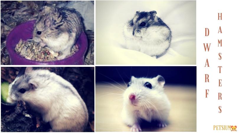 dwarf russian hamster facts