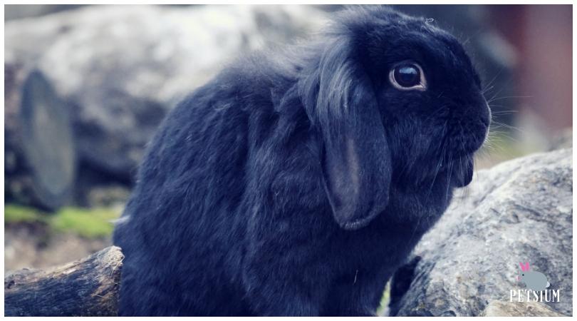 netherland dwarf rabbit care