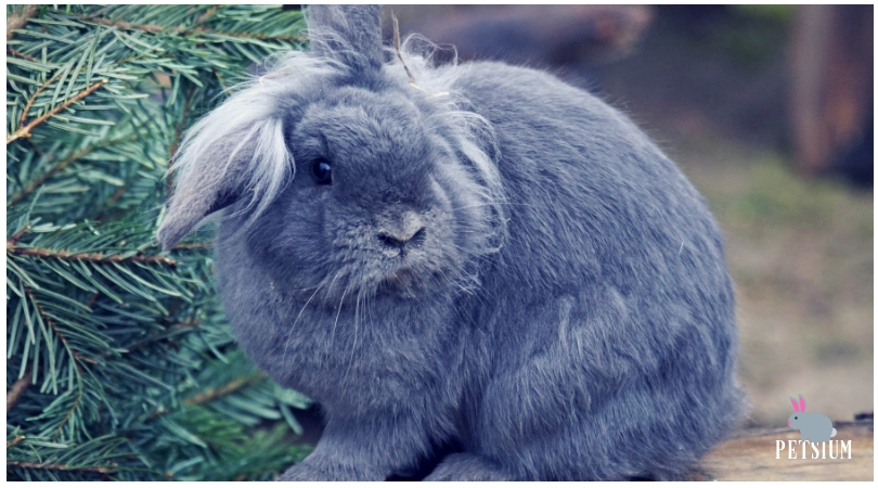 netherland dwarf rabbit facts