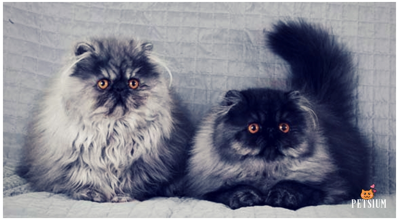 Persian cat black and blue smoke colors