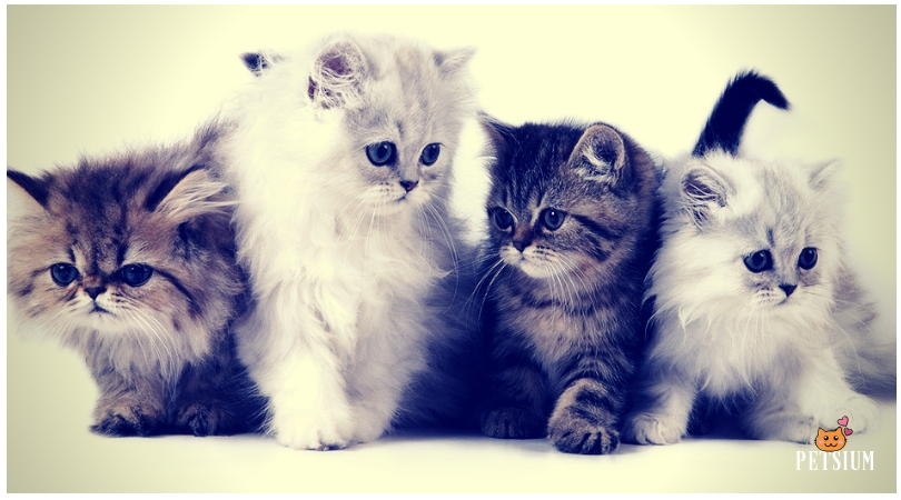 persian cat color variations