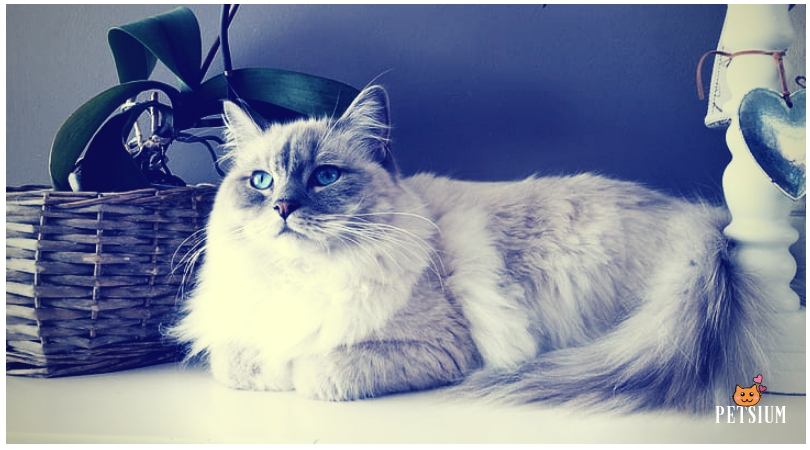 Persian cat white color