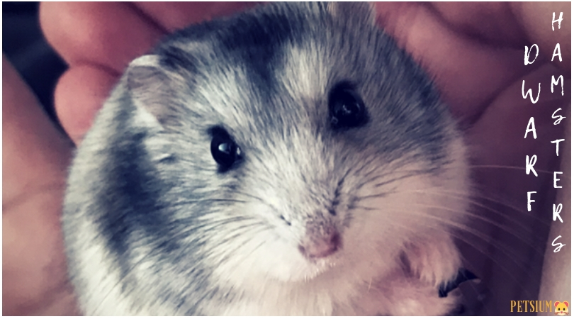 russian dwarf hamster lifespan as a pet