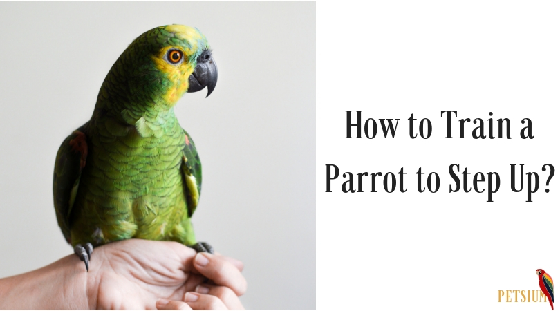 training a parrot to step-up