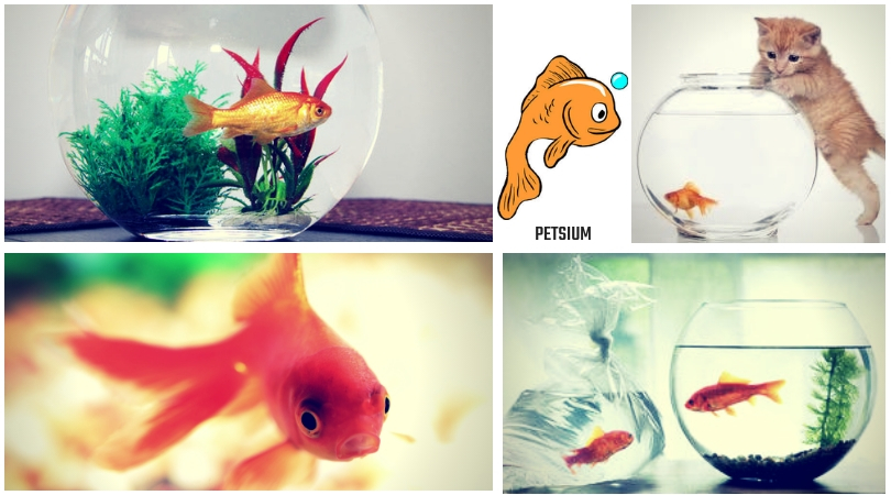 goldfish types of breed