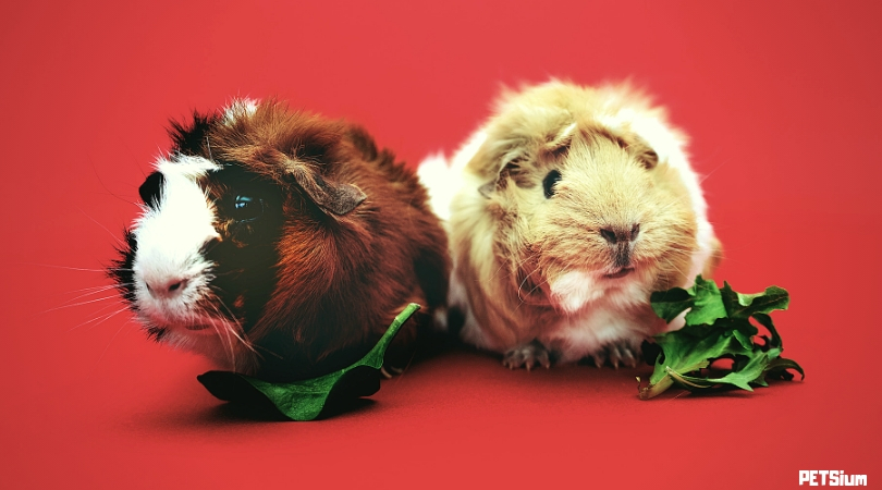 good and bad foods for guinea pigs