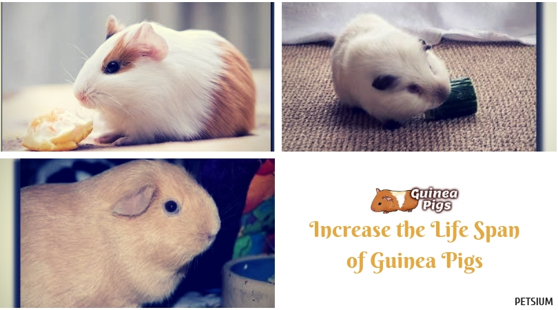 guinea pigs life span