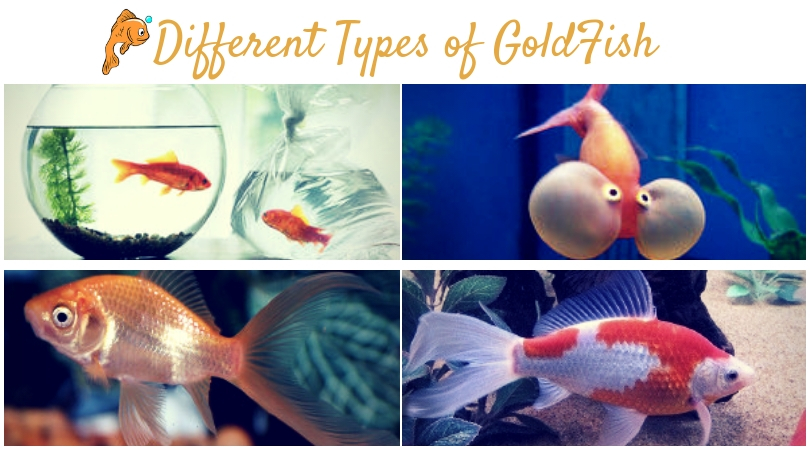 goldfish types that are identified based on appearance