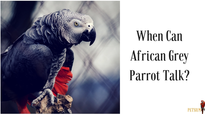 when can african grey parrot talk