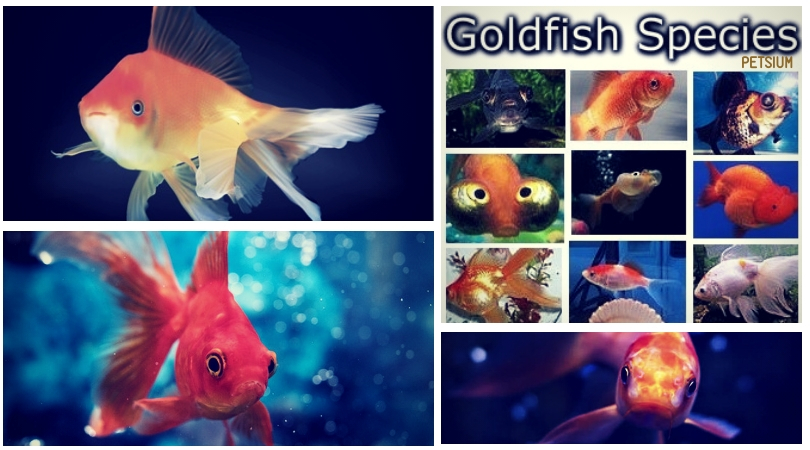 which species of goldfish is best for a pets