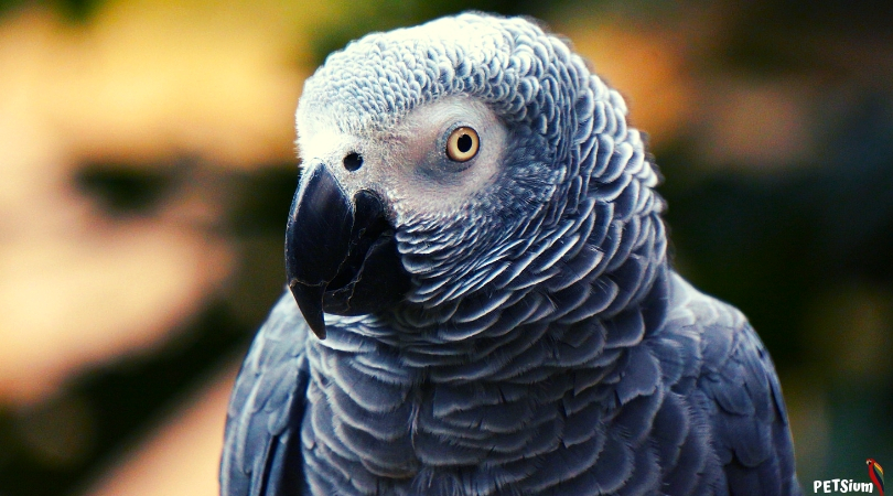 african grey best-known talking parrots