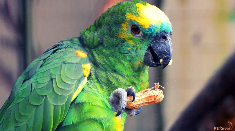 best talking parrot species