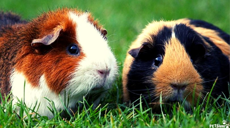 common health issues in guinea pigs