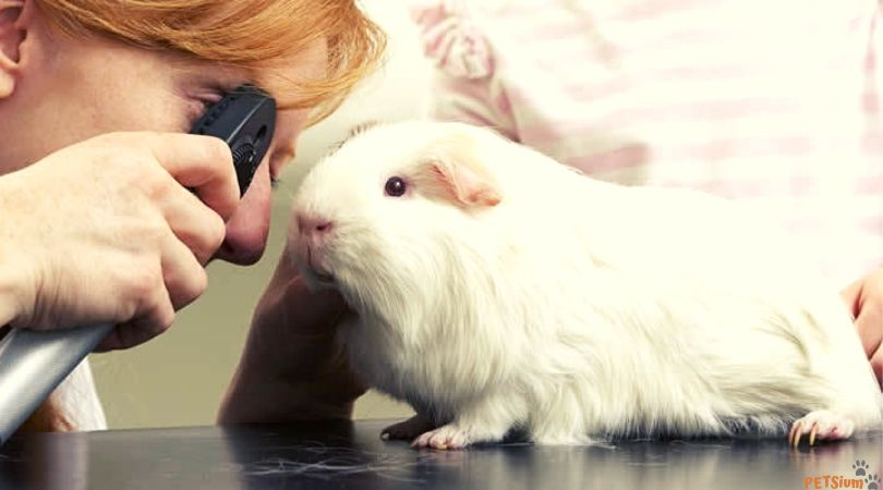 guinea pig health problems symptoms