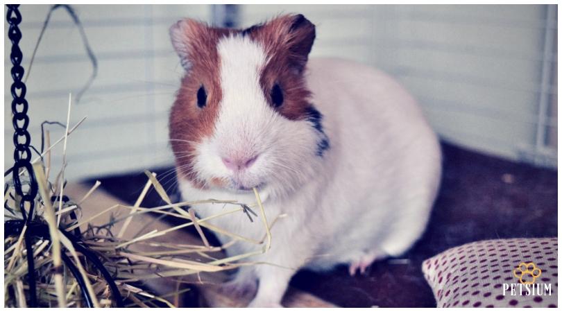 guinea pig igloo