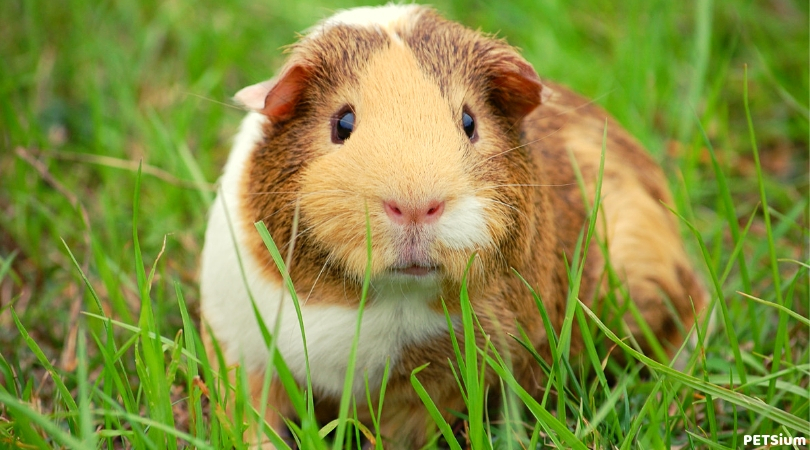 guinea pig things that you should know