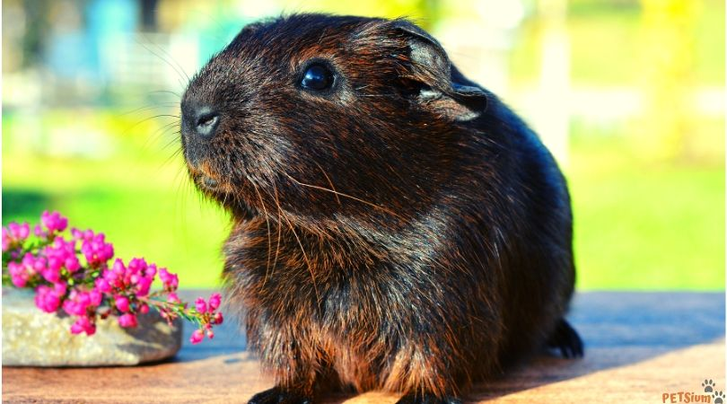 how to avoid guinea pig parasites