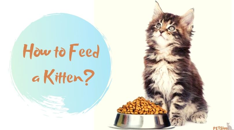 how to feed a kitten