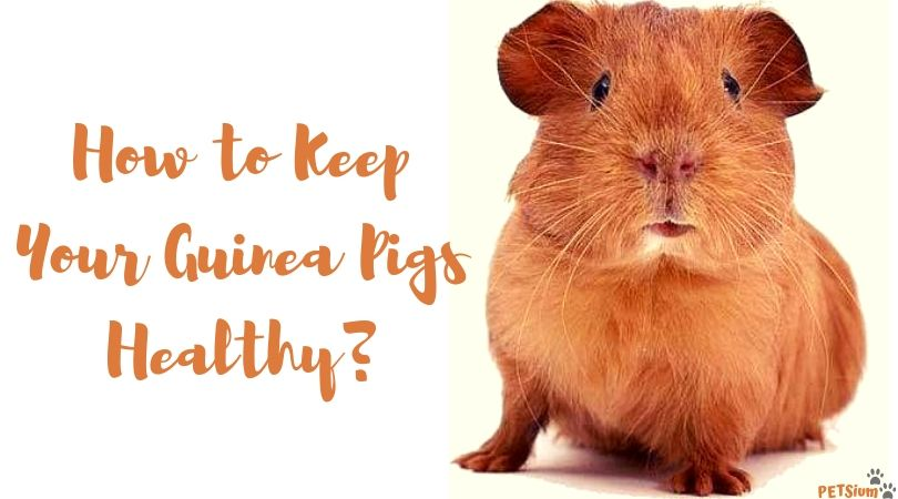 how to keep guinea pigs healthy