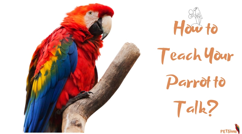 how to teach your parrot to talk