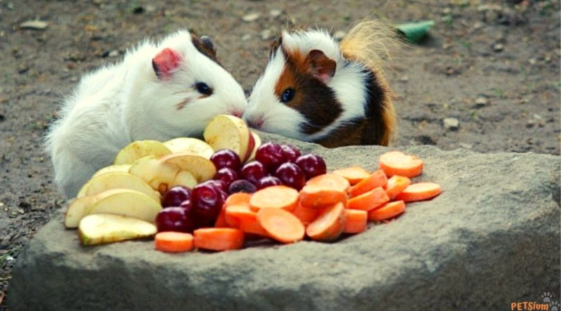 signs of vitamin c deficiency in guinea pigs