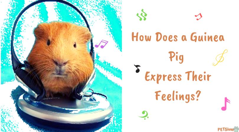 guinea pig noises