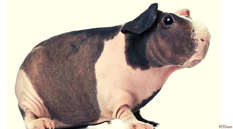 hairless guinea pig hippo